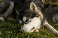 The Alaskan Malamute Royalty Free Stock Images