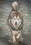 Alaskan Malamute Stock Photos