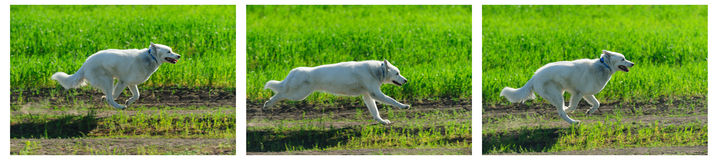 Alaskan Malamute runs Stock Photo
