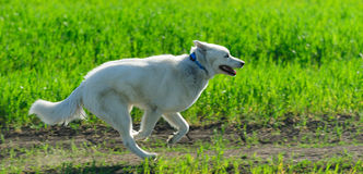 Alaskan Malamute runs Royalty Free Stock Photos