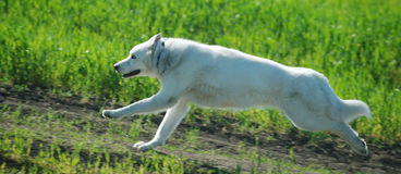 Alaskan Malamute runs Royalty Free Stock Image