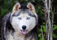 Alaskan Malamute Siberian Husky Royalty Free Stock Photo