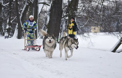 Alaskan Malamute and Siberian Husky Pulling Sled Royalty Free Stock Photos