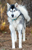 Alaskan Malamute Siberian Husky sled dog Royalty Free Stock Photography