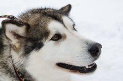 Alaskan malamute sideview portrait. Royalty Free Stock Photo