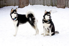 Alaskan Malamute Sister stock photo