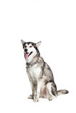 Alaskan Malamute sitting in front of the camera, isolated on white Royalty Free Stock Photo