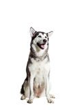 Alaskan Malamute sitting in front of the camera, isolated on white Royalty Free Stock Photography