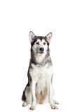 Alaskan Malamute sitting in front of the camera, isolated on white. Beautiful dog Stock Image