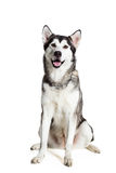 Alaskan Malamute sitting in front of white background Royalty Free Stock Photo
