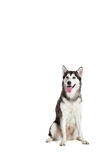 Alaskan Malamute sitting in front of white background Royalty Free Stock Photography