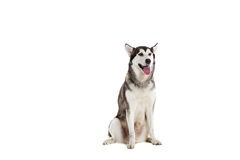 Alaskan Malamute sitting in front of white background Royalty Free Stock Image
