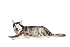 Alaskan Malamute sitting in front of white background Stock Photography