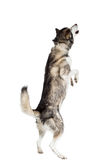 Alaskan Malamute sitting in front of white background Stock Photos