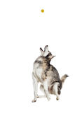 Alaskan Malamute sitting in front of white background Royalty Free Stock Photos