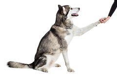 Alaskan Malamute sitting in front of white background Stock Image