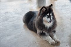 Alaskan Malamute sitting and looking for people. Use for artwork Royalty Free Stock Images