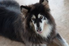 Alaskan Malamute sitting and looking for people. Use for artwork Stock Photography