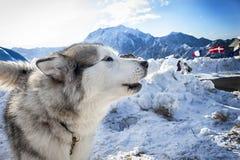 Alaskan malamute Royalty Free Stock Photos