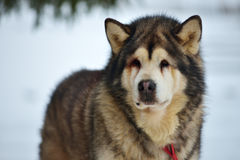 Alaskan Malamute in the snow Stock Photo