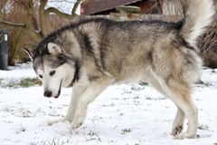 The Alaskan Malamute in snow royalty free stock images