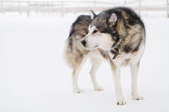 Alaskan malamute. Standind in white winter landscape Stock Photo