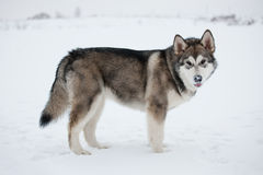 Alaskan Malamute stands Stock Photography