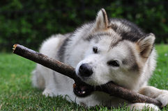 Alaskan Malamute and stick Stock Images