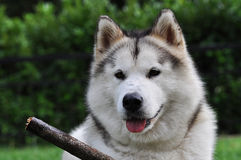 Alaskan Malamute and stick Royalty Free Stock Photos