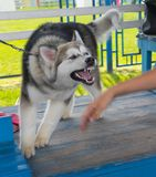 Alaskan Malamute is trying to bite human hand Stock Photos
