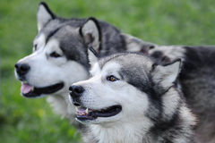 Alaskan malamute. Two Alaskan Malamute Dogs Staying Outdoor In Summer, closeup Royalty Free Stock Photo
