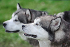 Alaskan malamute. Two Alaskan Malamute Dogs Staying Outdoor In Summertime, closeup Royalty Free Stock Image