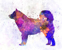 Alaskan Malamute 01 in watercolor Stock Photos