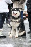 Alaskan Malamute on a winter day Royalty Free Stock Image