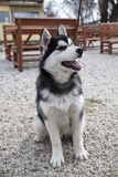 Alaskan malamute Stock Photo
