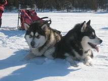 Alaskan Malamutes in harness. Two young Malamutes on a spring sledding excursion Stock Photo