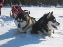 Alaskan Malamutes In Harness Stock Photo