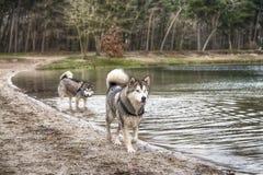 Alaskan Malamutes Royalty Free Stock Photo