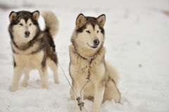 Alaskan Malamutes Stock Photography