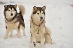 Alaskan Malamutes Stock Photography