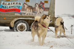 Alaskan malamutes Royalty Free Stock Images