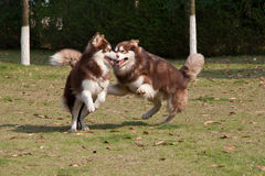 Alaskan Malamutes playing Royalty Free Stock Photo