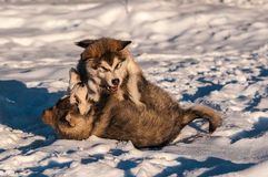 Alaskan malamutes playing in the snow. Alaskan malamute puppies playing near to a sled dog farm on a snow covered lake in Sweden Stock Photo