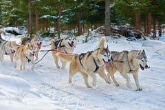 Alaskan Malamutes pulling sled Stock Images
