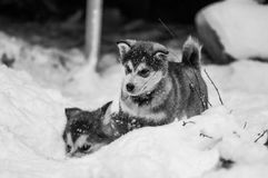Alaskan Malamutes pups playing in de snow. Alaskan malamute puppies playing in the snow on a sleddog farm in Sweden royalty free stock photo