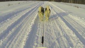 Alaskan malamutes ride stock footage