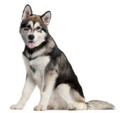 Alaskan Malmute puppy, 5 months old, sitting Stock Photography