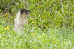 Alaskan Marmot. Marmot in the highlands of the Alaskan wilderness stock photo