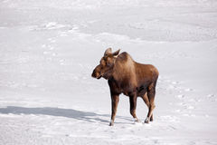 Alaskan Moose. A photo of a moose on snow covered ground. It was taken in Alaska Royalty Free Stock Photography