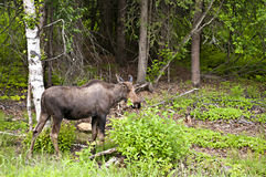Alaskan moose Stock Photography